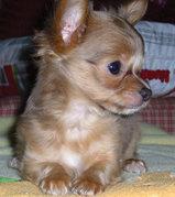 2.jpg - Weiblich Chihuahua Welpen für die Annahme