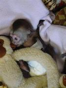 lovely Kapuziner Affe zum Verkauf
