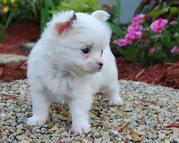 880008.jpg - Verspielt Mini Chihuahua Welpen VDH / FCI