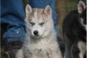52850992.jpg - Reinrassige Siberian Husky Welpen - Langhaar