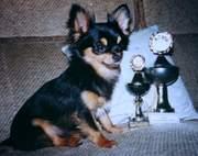 Langhaar-Chihuahuas vor den Toren Kiels