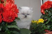 Perser Baby Kätzchen