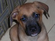 welpen 002_edited-copy.jpg - Boxer-Schäferhundmix