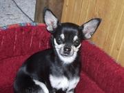Kurzhaar Chihuahua Hündin