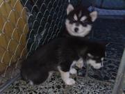 Sibirien Husky Welpen zu Verkaufen-welpen 7 wochen 1.jpg