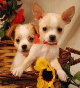 Chihuahua Welpen!!