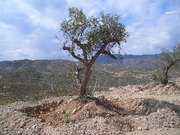 Olive.jpg - Alte Olivenbäume