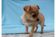 Traumhafter, verschmuster Langhaar-Chihuahua-Welpe
