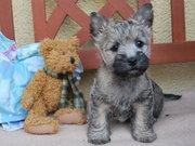 Cairn Terrier Welpen aus NRW .
