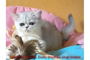 xena2.jpg - Exotic Shorthair-Maedchen in silver shaded