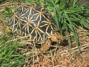 Bild 003.jpg - Sternschildkröten