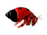 American Hermit Crab's