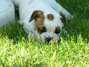 Englisch Bulldogge Welpen Available-for-Sale
