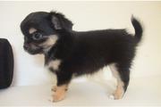 v.jpg - 4 Zuckersüße- Typvolle- Chihuahua-Welpen -LH-Weibc