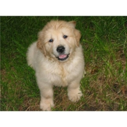 golden Dion.JPG - Golden Retriever Welpen für Re-Homing