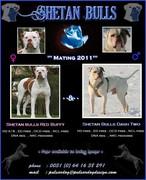 mating flyer original - Kopie.jpg - American Bulldog  Welpen