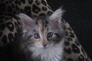 Maine Coon Kitten Geschwisterpärchen