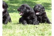 54122144.jpg - Schwarze Labrador Welpen